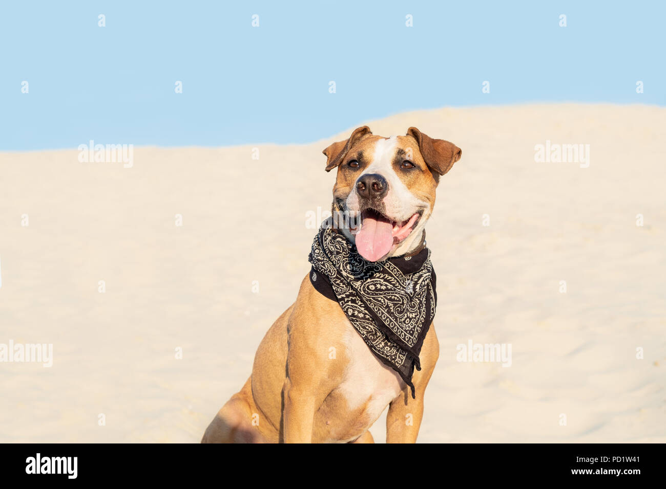 Beautiful dog in bandana sits in sand outdoors. Cute staffordshire terrier puppy in sandy beach or desert on hot summer day - Stock Image