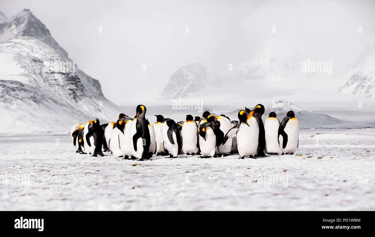 King Penguins on Salisbury Plain Sth Georgia - Stock Image