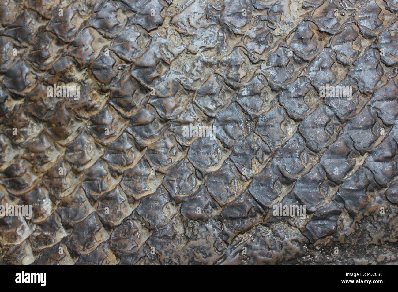 Fossilized remains and impression of fish scales at the Nature Center and interpretation station at the National Historic Landmark The Kennicott Grove in Glenview, Illinois on a bright sunny summer day. - Stock Image