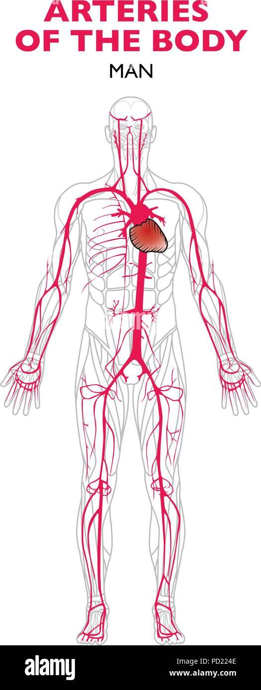 Arteries In The Human Body Anatomy An Artery Is A Blood Vessel