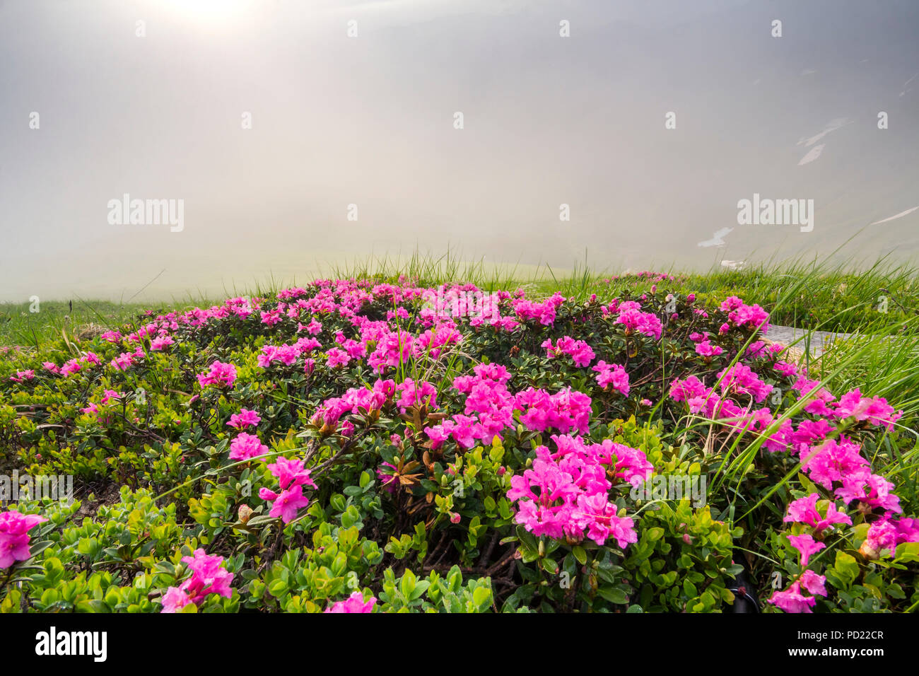 Lit By Sun Lavishly Blooming On Grassy Mountain Meadow Dense