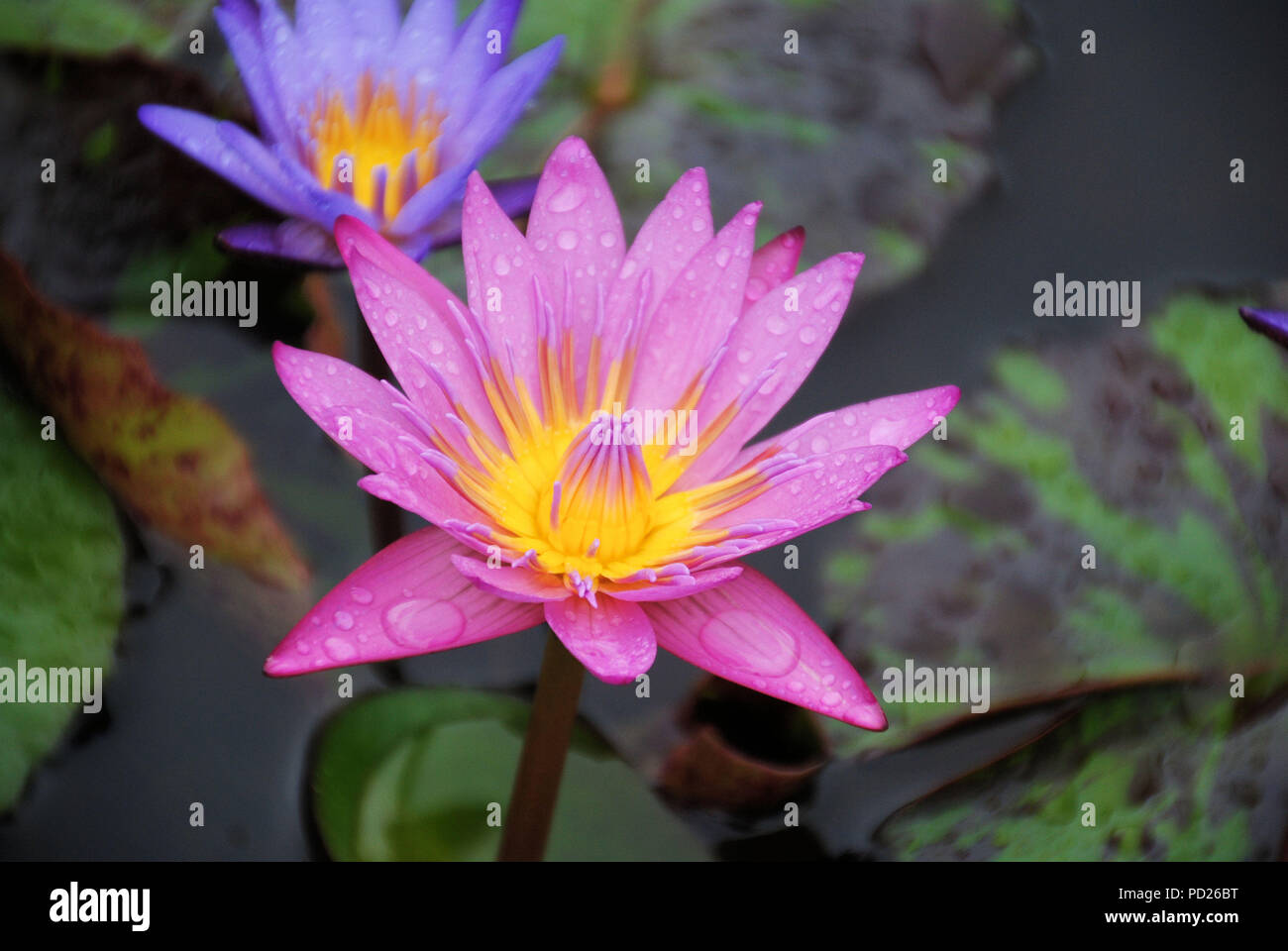 Water lily flower in village stock photos water lily flower in a pink panama pacific water lily or lotus flower in a pond in the izmirmasajfo
