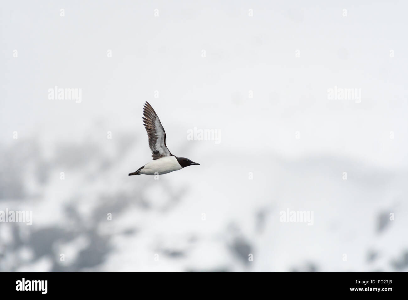 A Brünnich's guillemot (Uria lomvia) also known as thick-billed murre flying near it's nesting grounds on the cliff at Alkefjellet in the Svalbard. Stock Photo