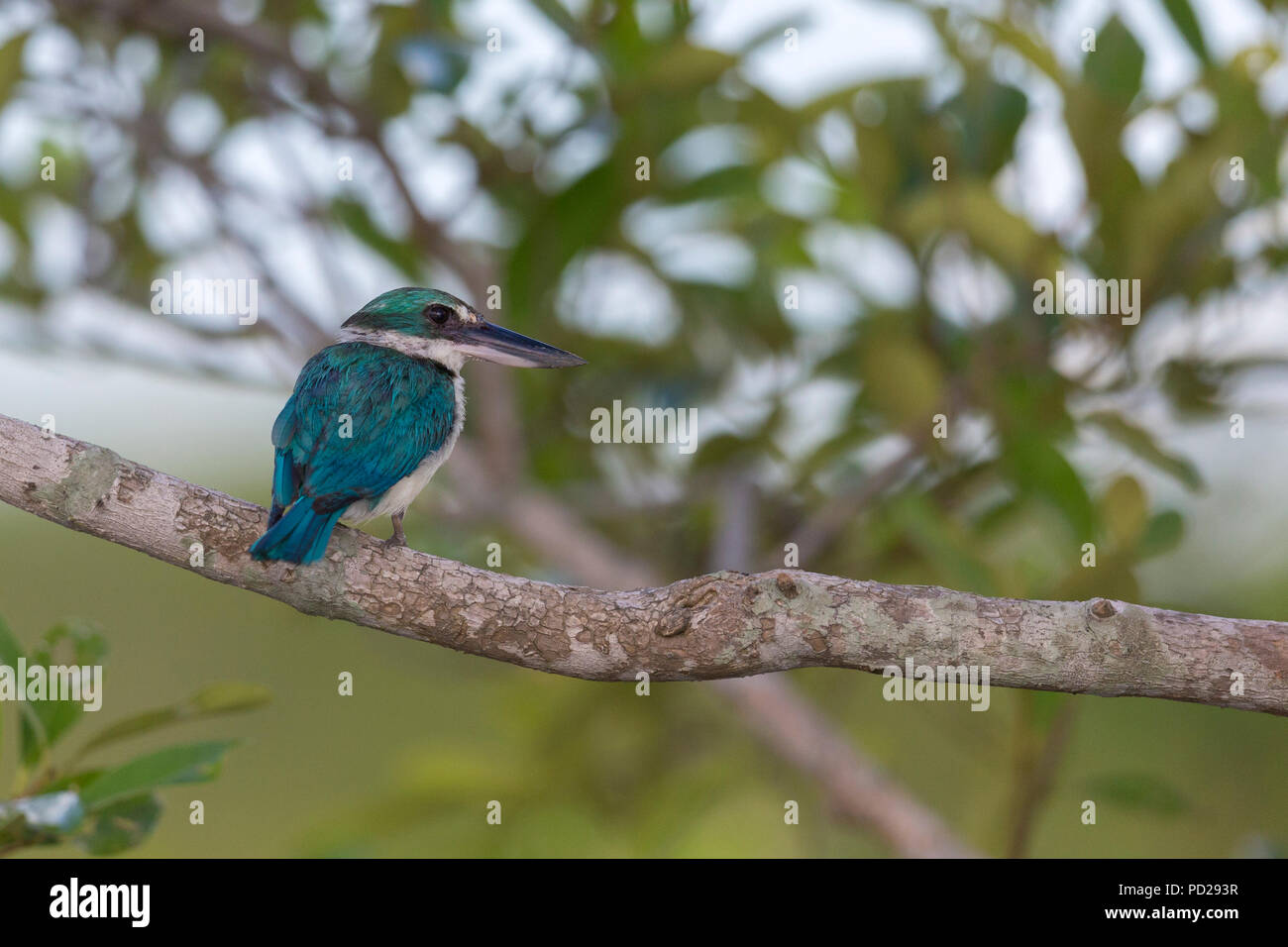 Collared Kingfisher or Todiramphus chloris in the Sunderbans mangrove forest in West Bengal India. - Stock Image