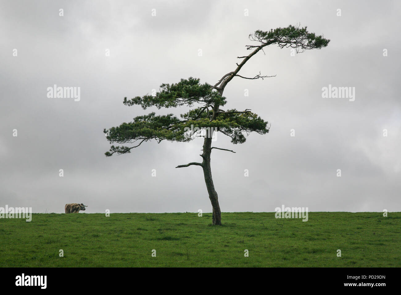 Tree on horizon with cow in the background in field. Devon, England, UK, Europe Stock Photo