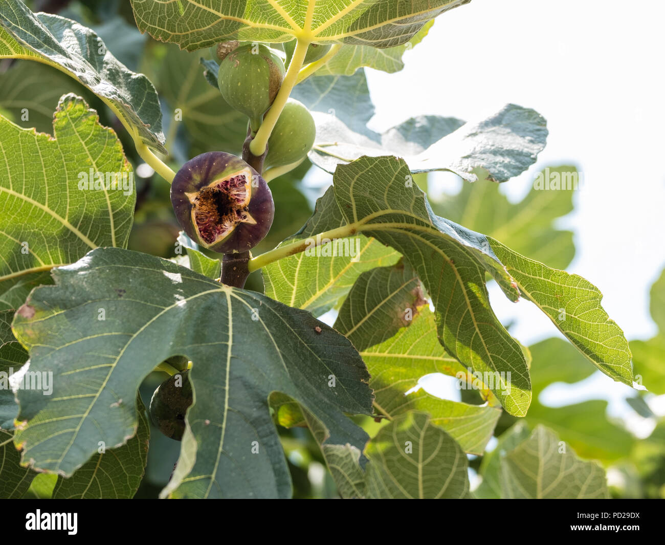 Freshly Ripened Fig, ( Ficus carica ) fruit better known as the common fig. Native to the middle East, Saronida, East Attica, Greece, Europe. Stock Photo