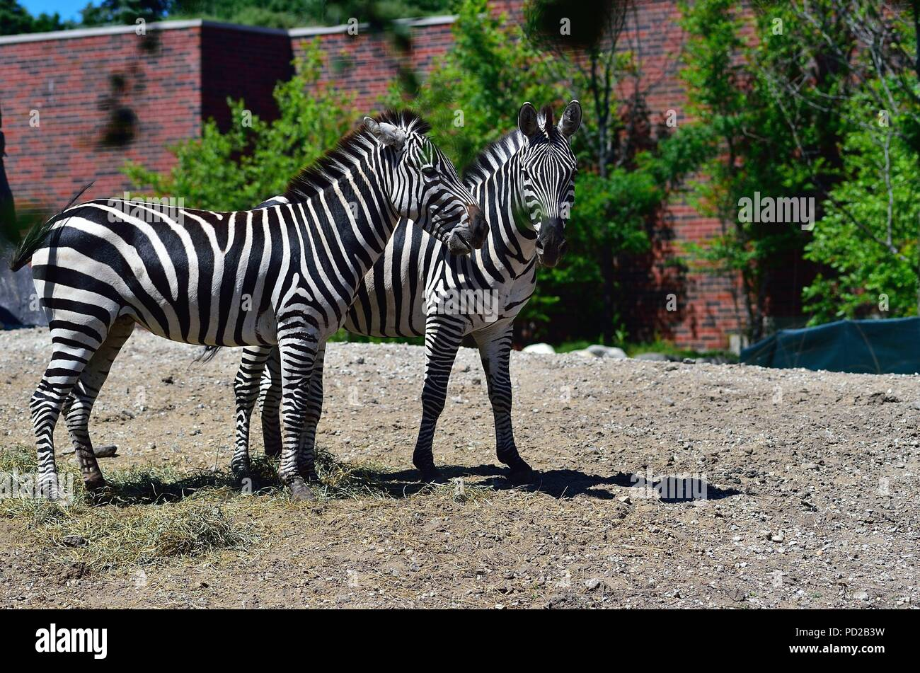Chicago Illinois Usa A Pair Of Young Zebras At Lincoln Park Zoo