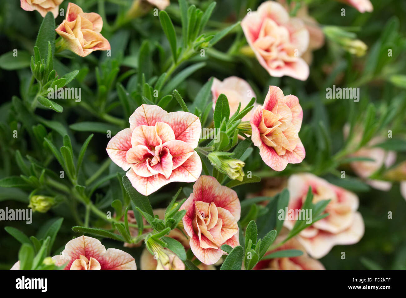 Calibrachoa Can Can Double Apricot with Red Eye flowers. - Stock Image