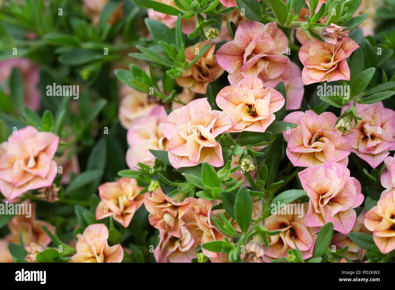 Calibrachoa Can Can Double Apricot flowers. - Stock Image