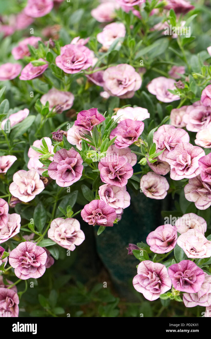Calibrachoa Can Can Double Dark Lavender flowers. - Stock Image