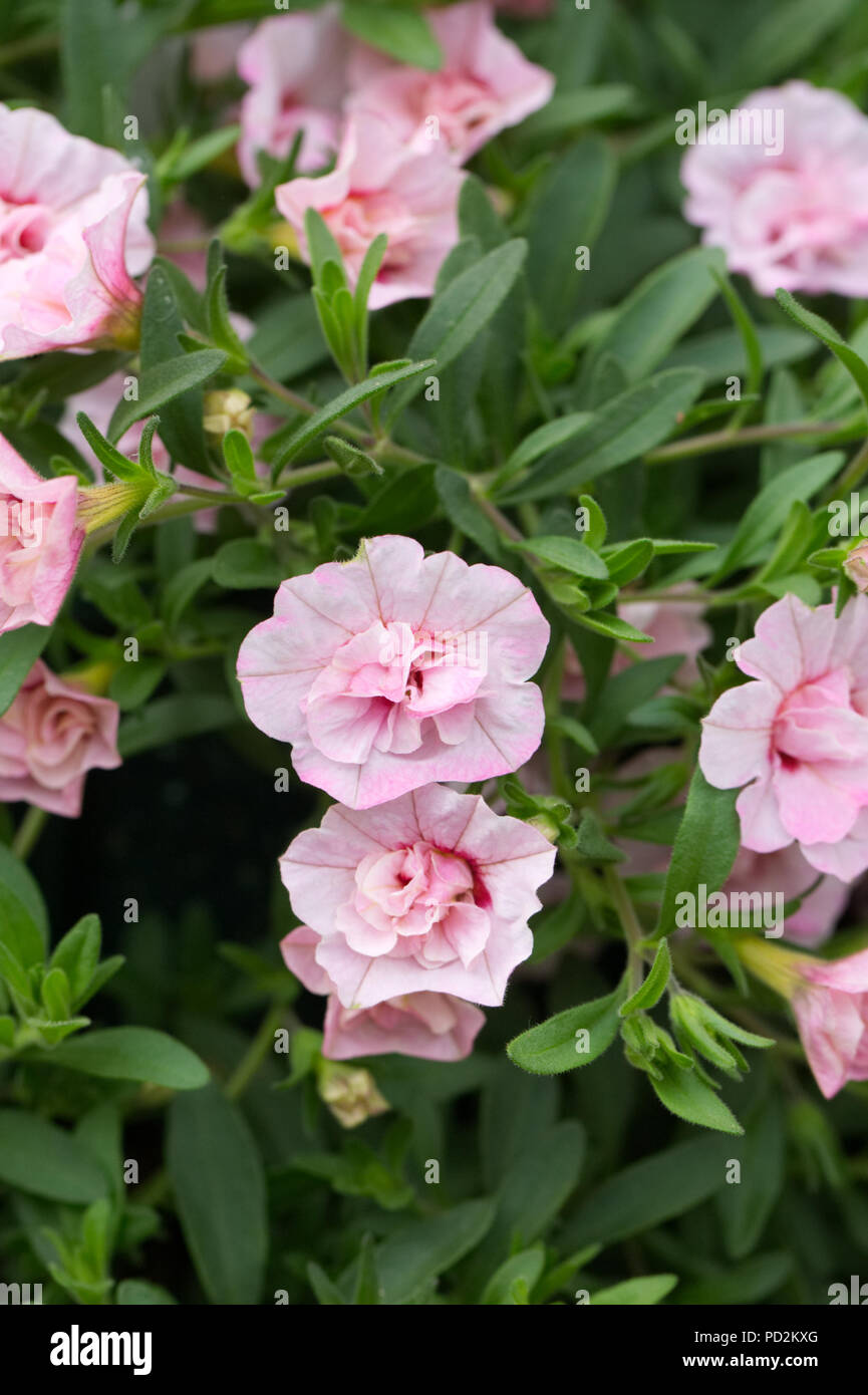 Calibrachoa Can Can Double Pink flowers. - Stock Image