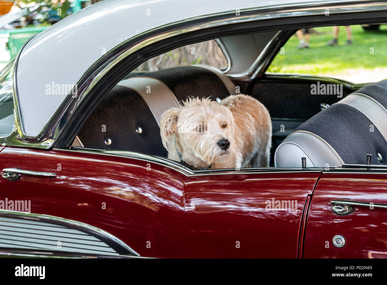 Small dog; 1957 Chevrolet 4 door hardtop; Angel of Shavano Car Show, fund raiser for Chaffee County Search & Rescue South, Salida, Colorado, USA - Stock Image