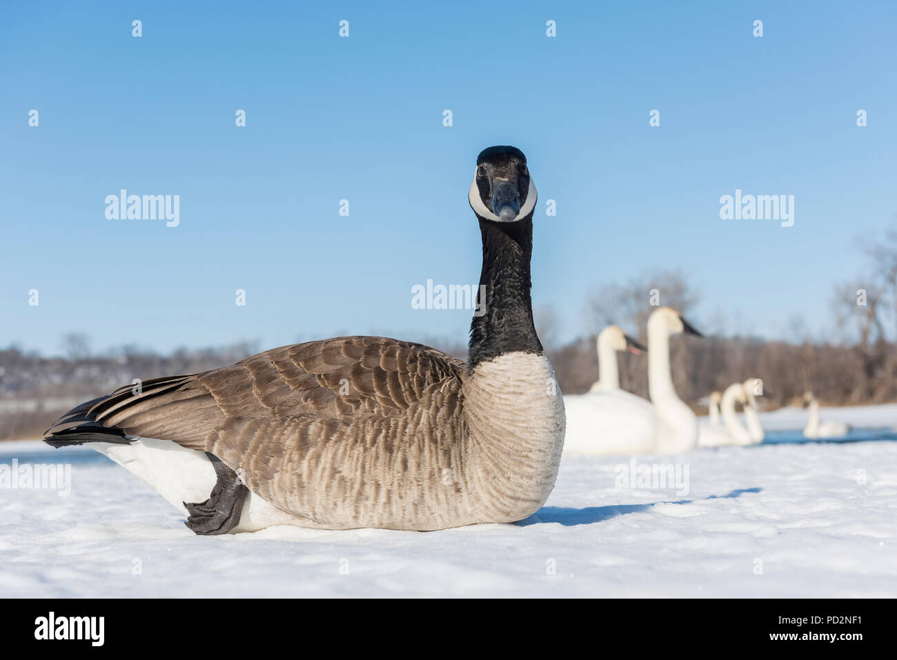 Canada Goose (Branta canadensis) and Trumpeter swans (Cygnus buccinator), St Croix River, WI, USA, by Dominique Braud/Dembinsky Photo Assoc - Stock Image