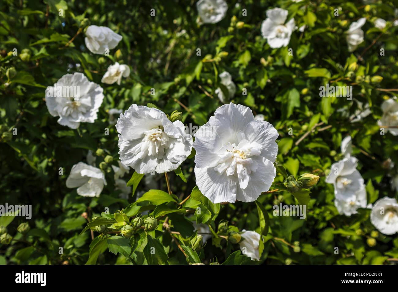 Double Flowered White Hibiscus Syriacus White Chiffon Notwoodtwo