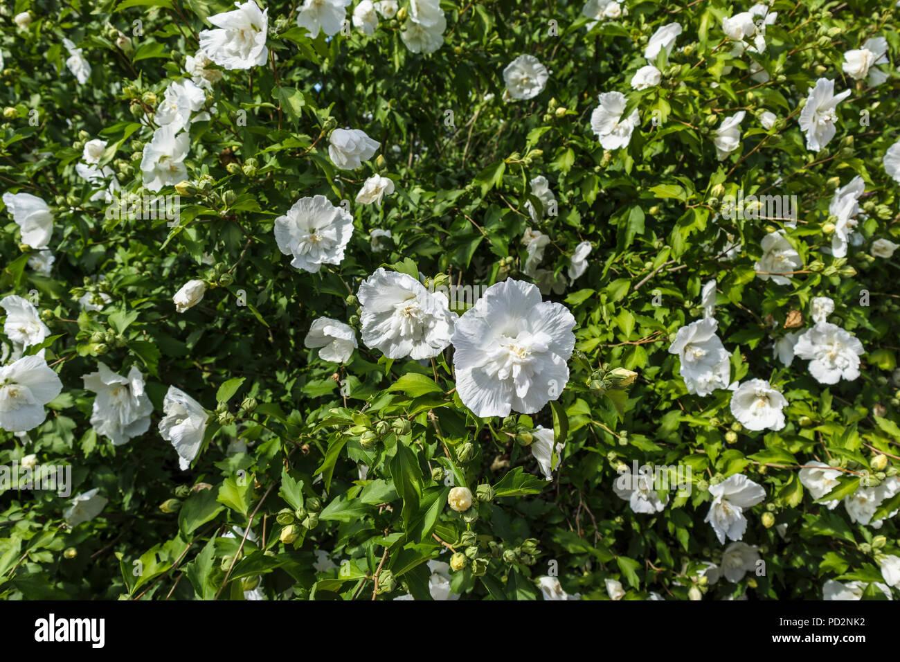 Hibiscus Shrub White Stock Photos Hibiscus Shrub White Stock