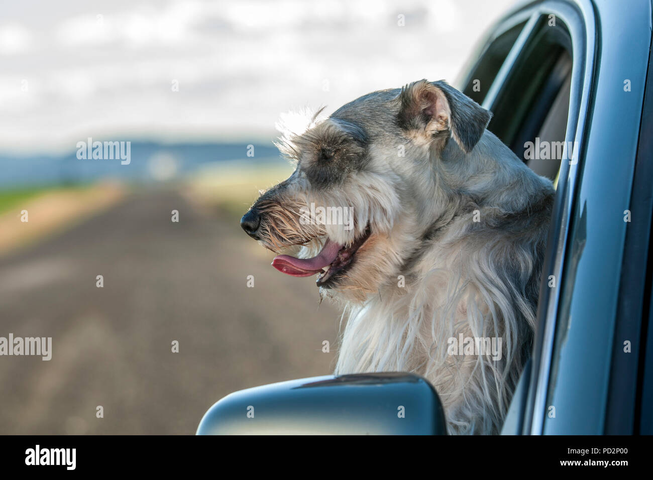 A miniature Schnauzer sticks his head out of a car window in north Idaho. - Stock Image