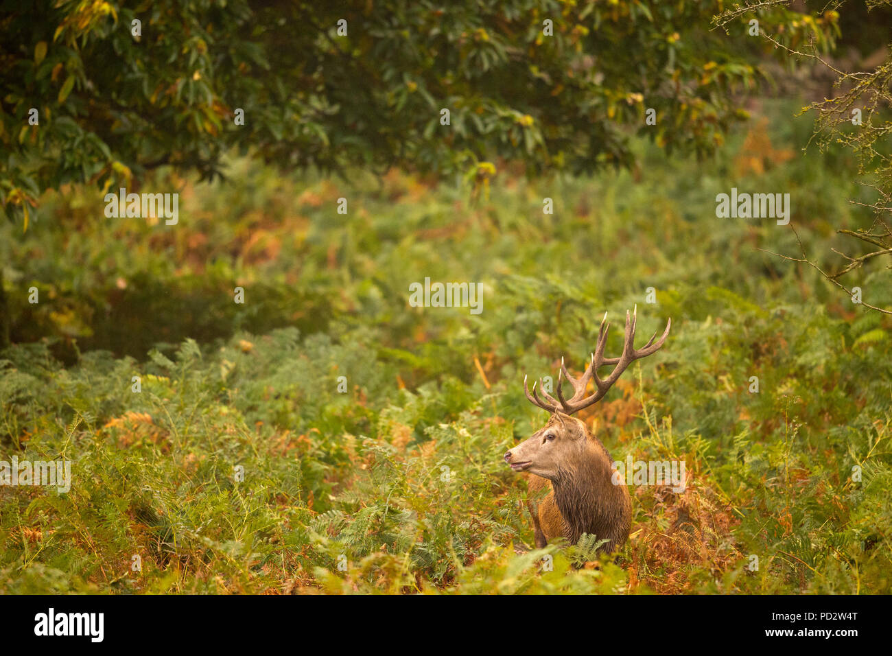 Red Deer Cervus elaphus - Stock Image