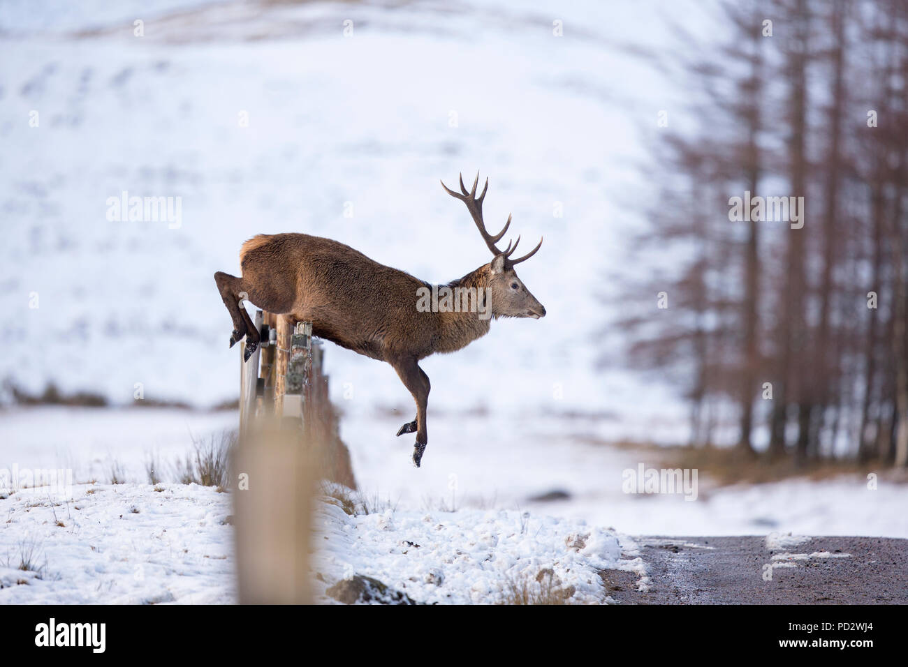Red Deer Cervus elaphus - Stock Image