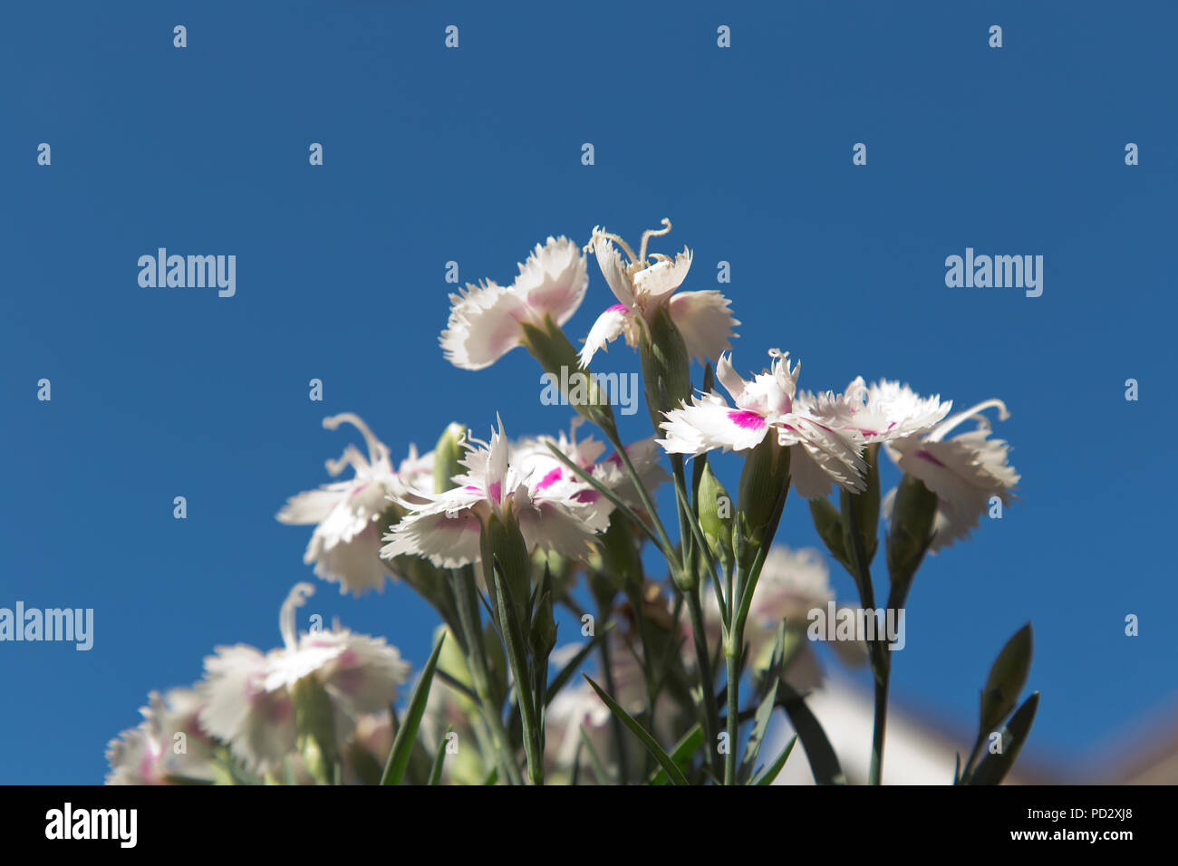 summer flowers in English garden - Stock Image