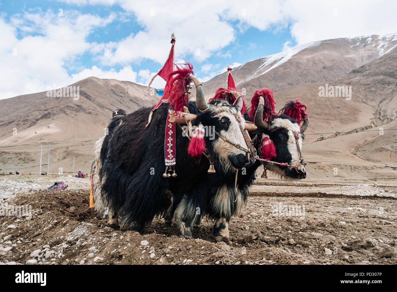 Yaks dressed up to work on field, Namco, Xizang, China - Stock Image