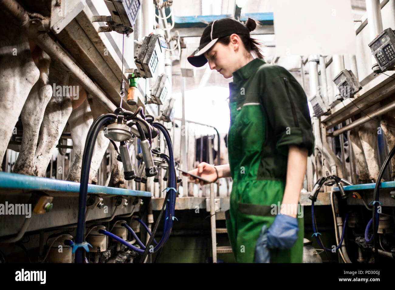 Dairy farm worker texting while working in milking parlour - Stock Image