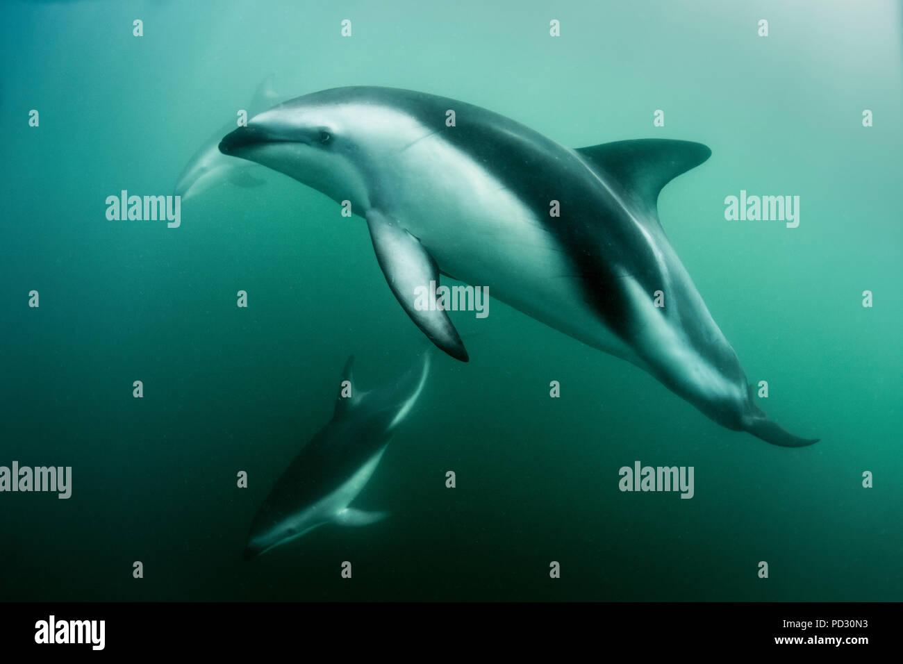 Dusky dolphins (Lagenorhynchus obscurus), swimming underwater