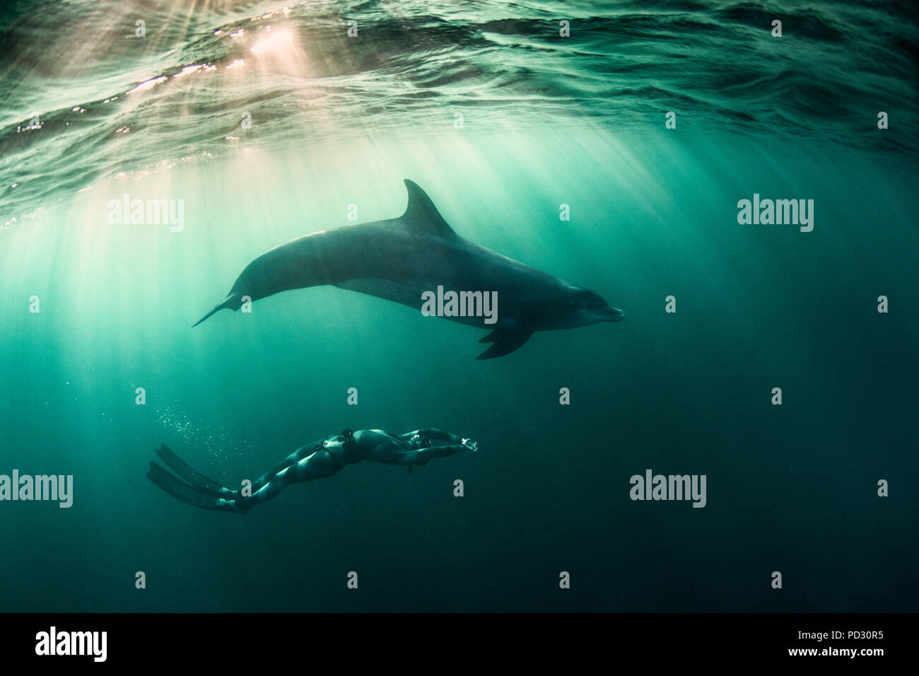 Woman free-diving with Bottlenose dolphin (Tursiops truncates), underwater view, Doolin, Clare, Ireland - Stock Image
