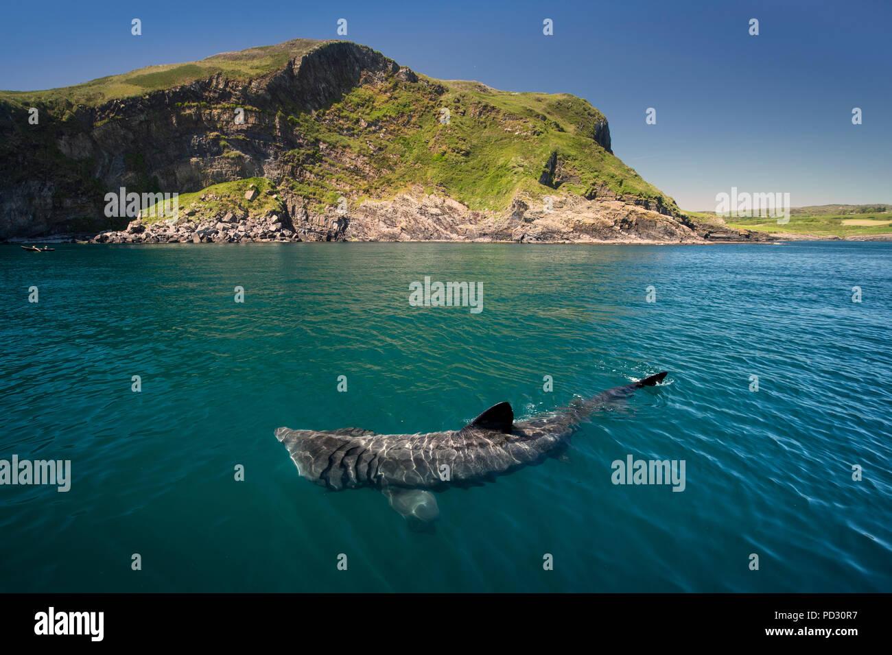 Basking shark (Cetorhinus maximus), Baltimore, Cork, Ireland - Stock Image