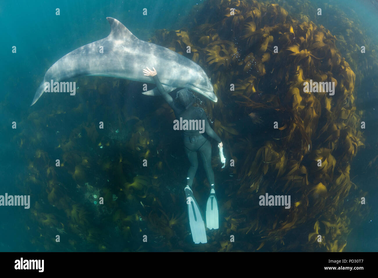Woman free-diving with Bottlenose dolphin (Tursiops truncates), overhead view, Doolin, Clare, Ireland - Stock Image