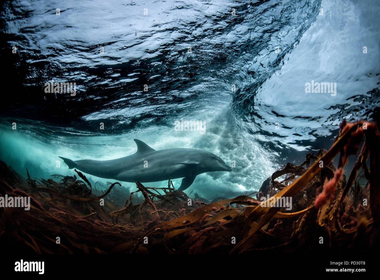 Surfing, Bottlenose dolphin (Tursiops truncates), underwater, low angle view, Doolin, Clare, Ireland - Stock Image