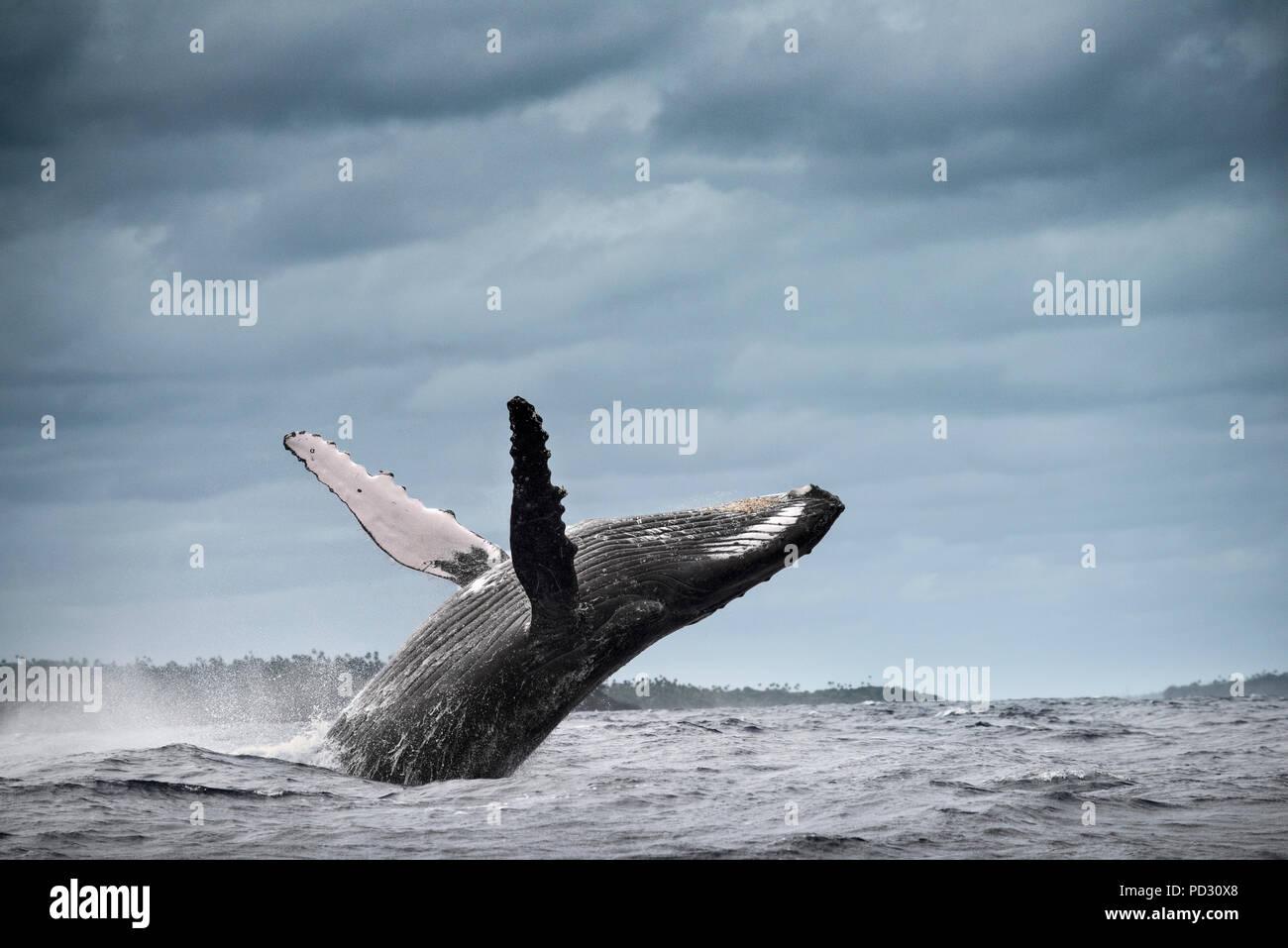 Humpback whale (Megaptera novaeangliae), breaching, Tonga, Fiji - Stock Image