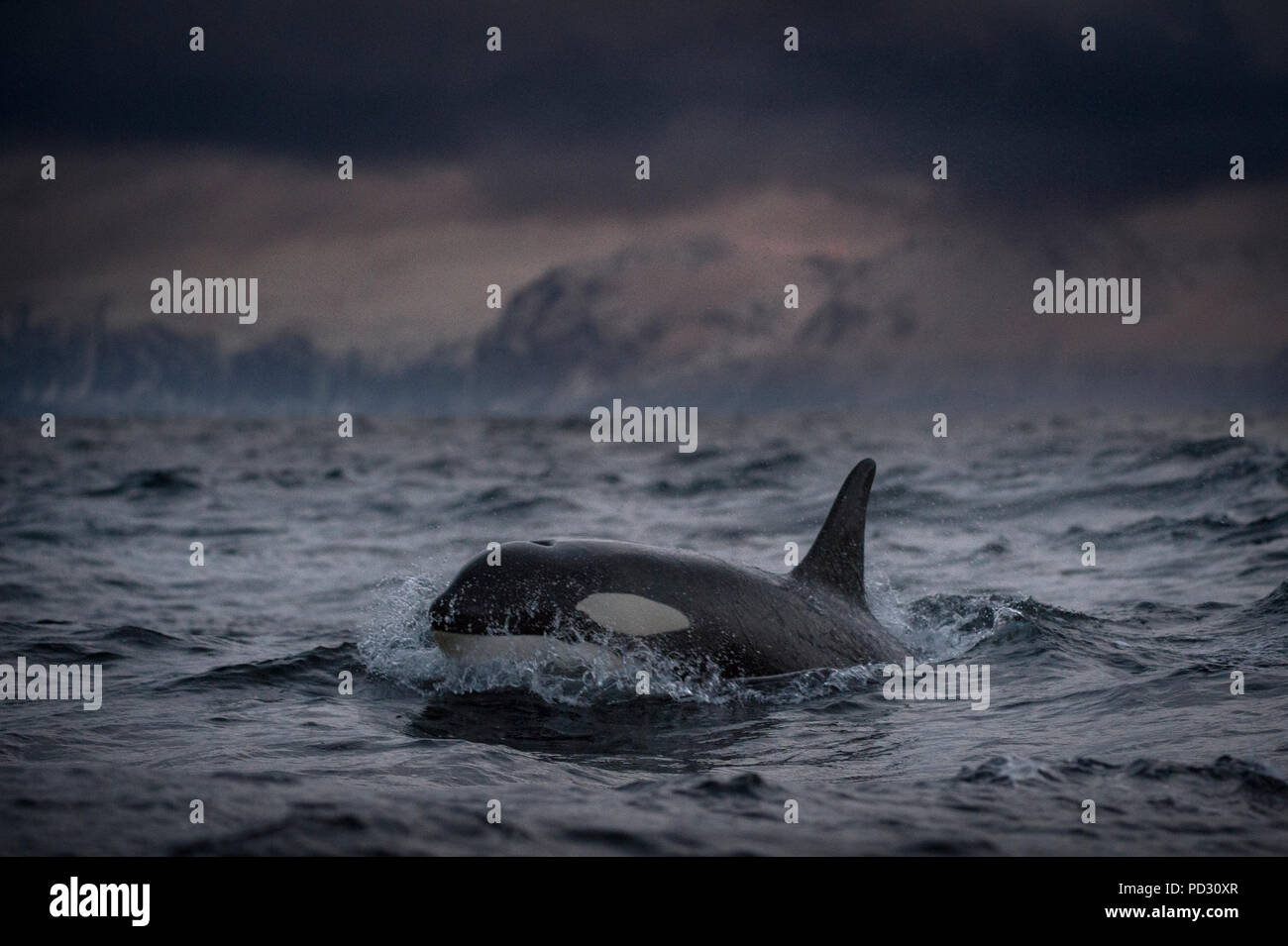 Killer whale (Orcinus orca), hunting for food, Andenes, Nordland, Norway - Stock Image