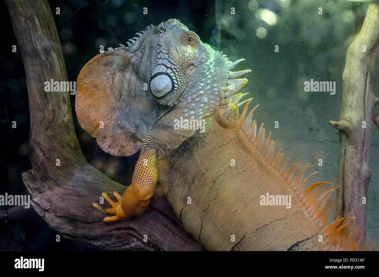Iguana - Stock Image