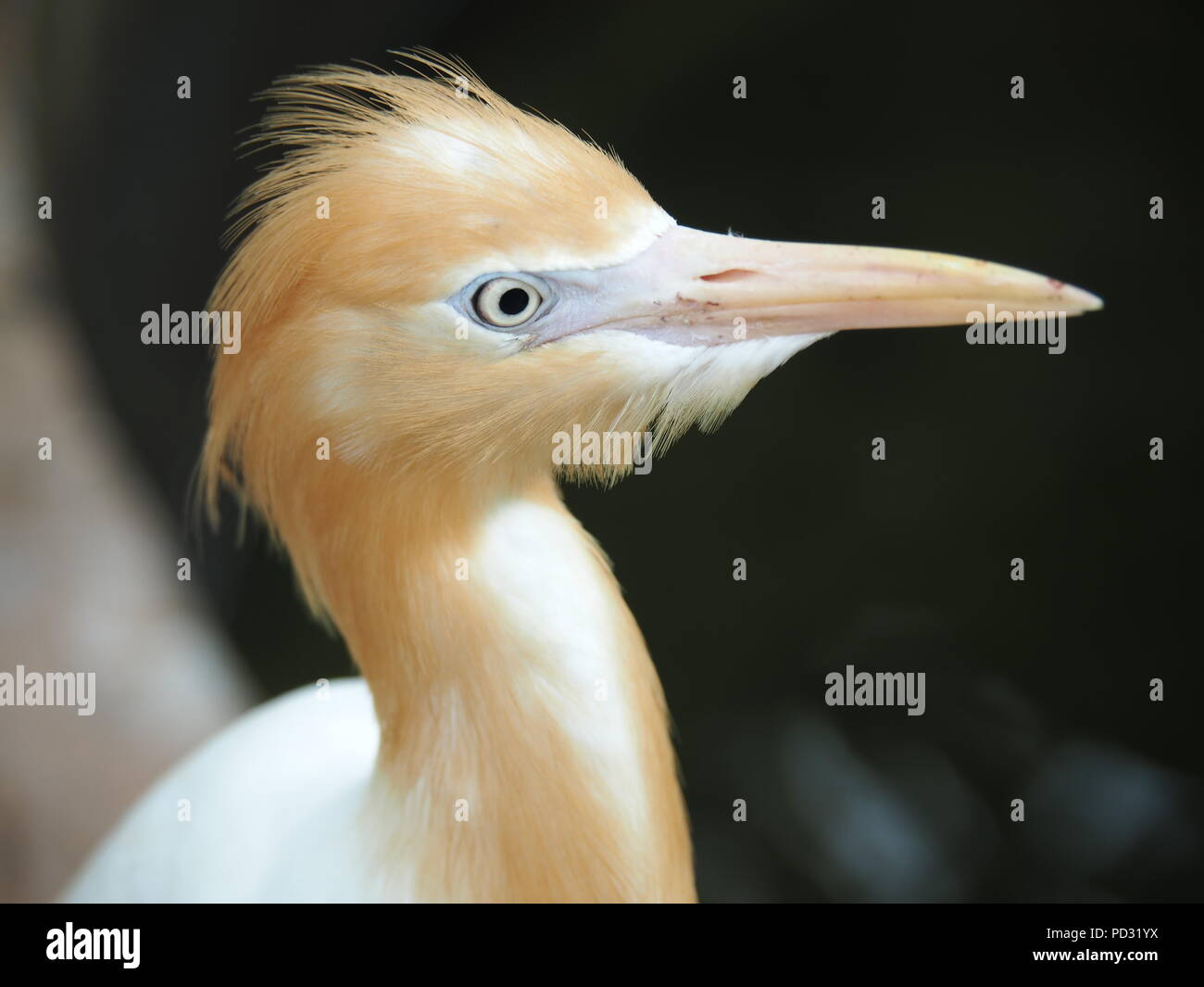Cattle Egret Bird - Stock Image