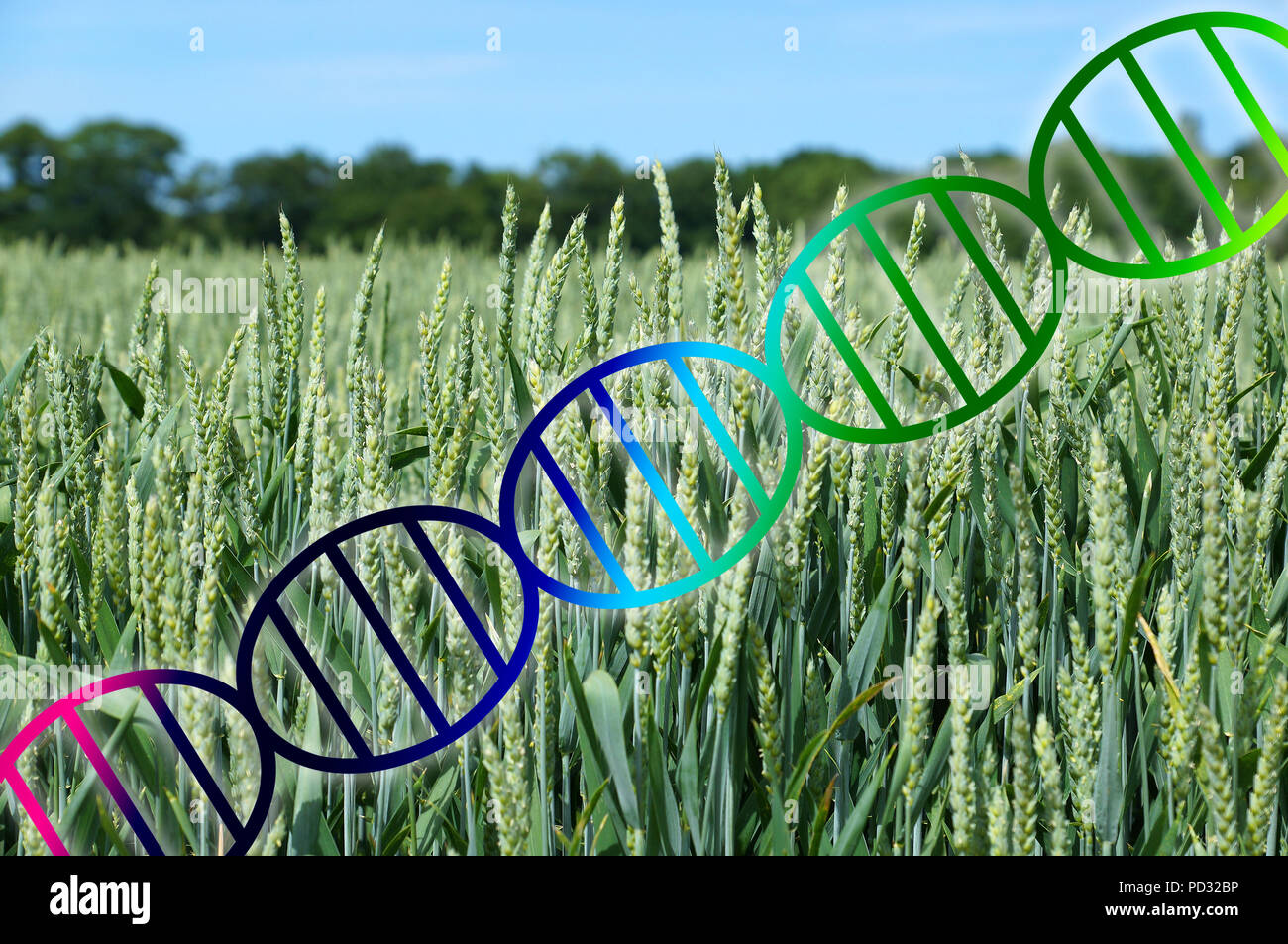 genome editing or genetic engineering concept, dna double helix over wheat crop field - Stock Image