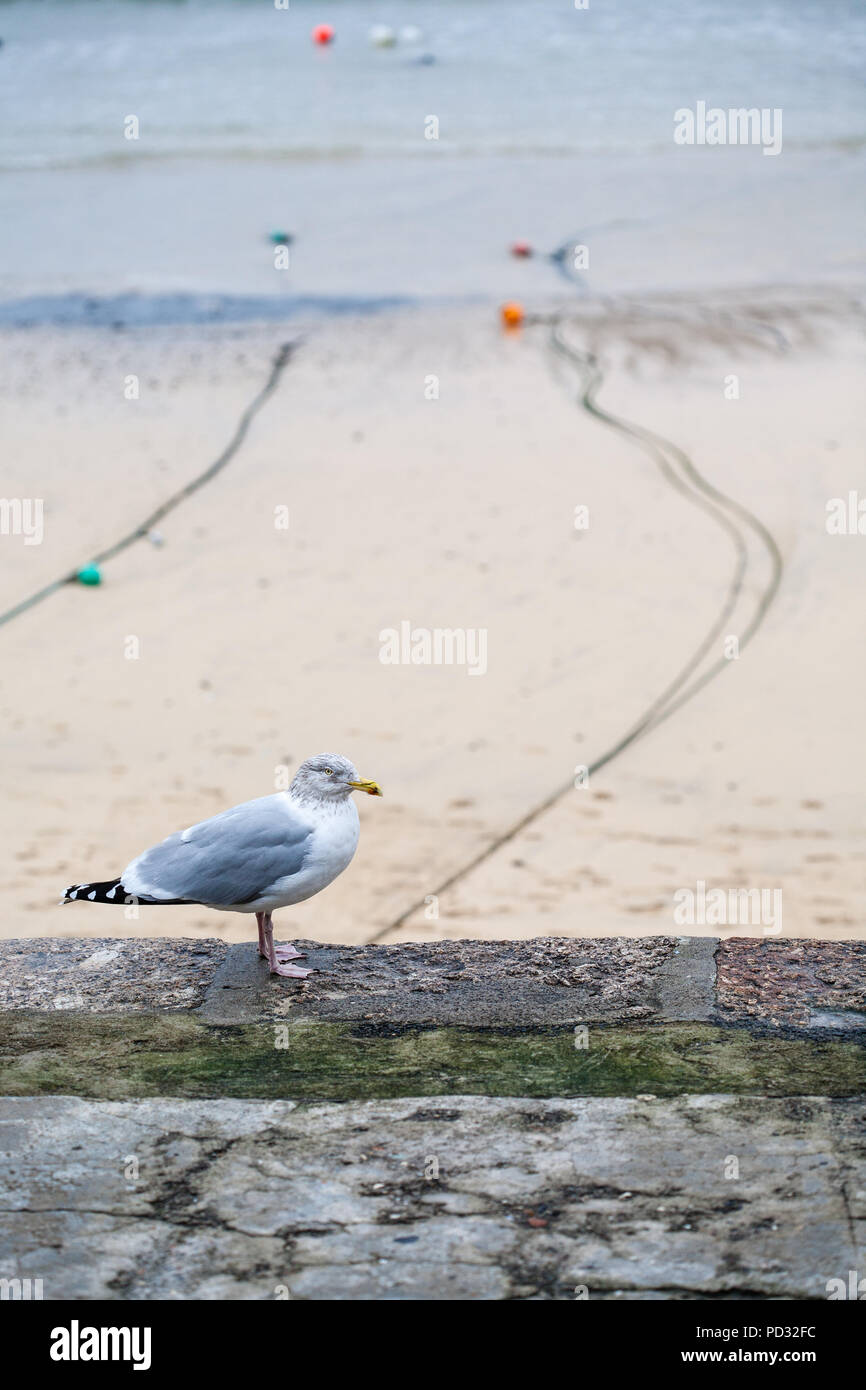 Seagull standing on wall by the seaside sandy beach with boat mooring lines and coloured bouys, St Ives, Cornwall, England, Europe. Stock Photo