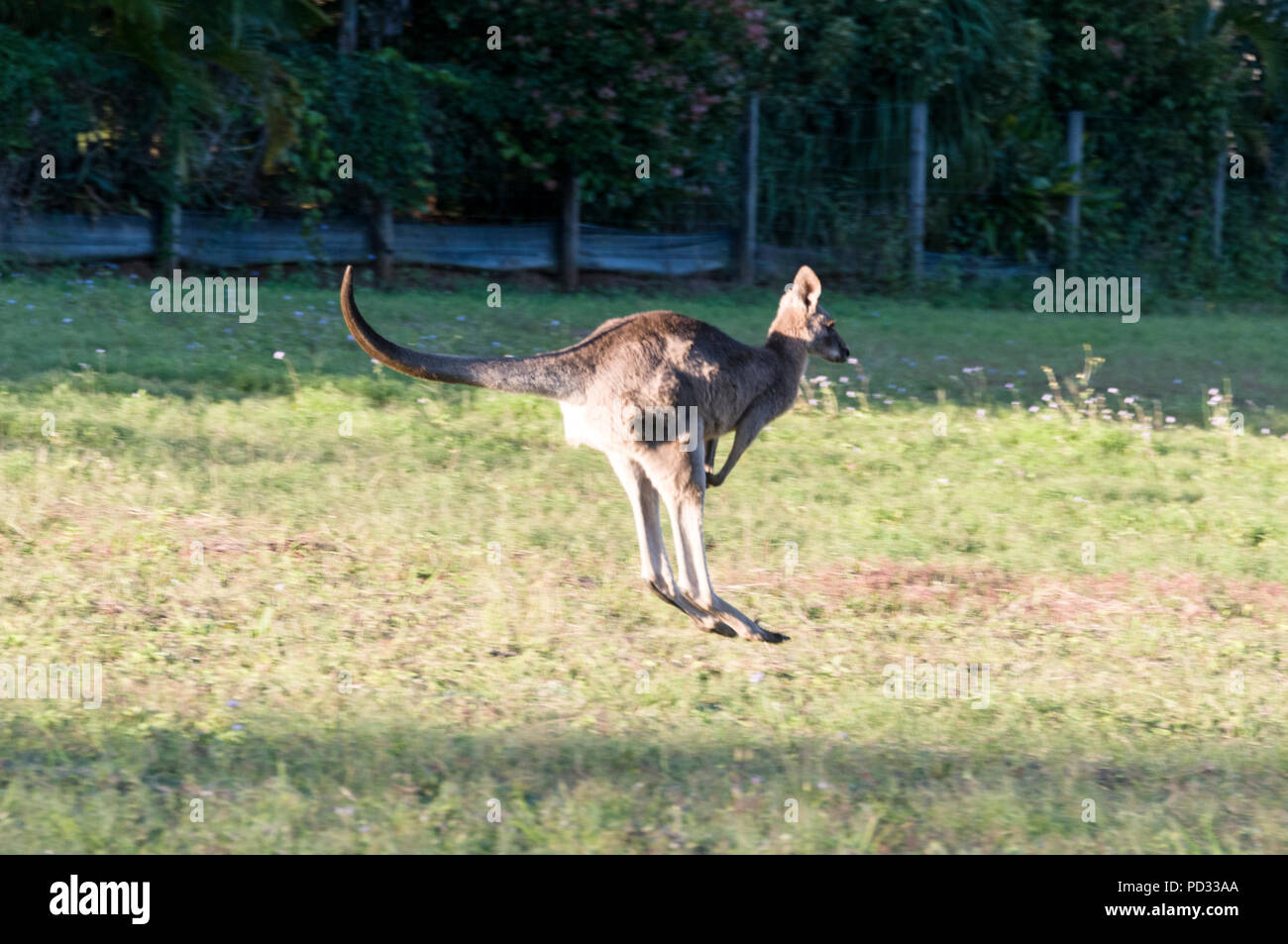 An Eastern Grey Kangaroo  (Macropus giganteus) leaping across open land on the Sunshine Coast in Queensland, Australia - Stock Image