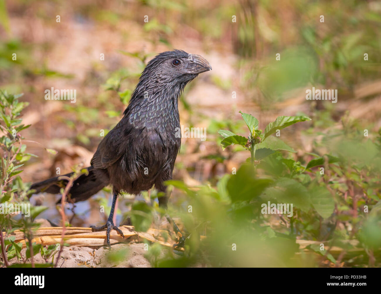 Groove billed ani standing in a field - Stock Image