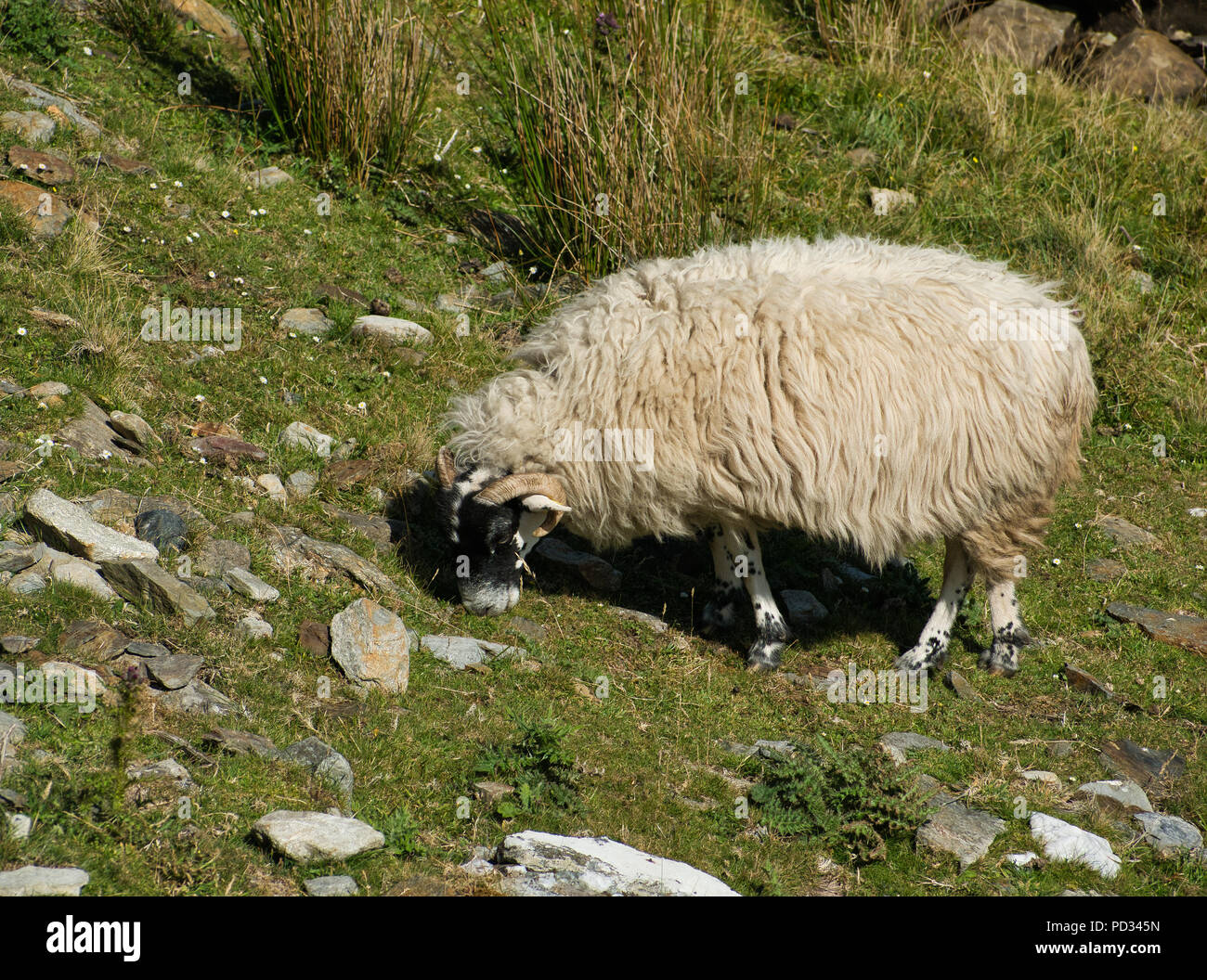 A white sheep with thick fur and black head in the mountains while eating photographed from the side - Stock Image