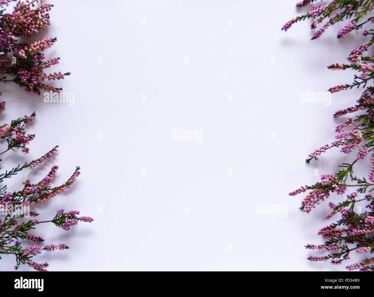 Purple autumn heathers (erica, calluna) in 2 rows on white background piece of paper. - Stock Image