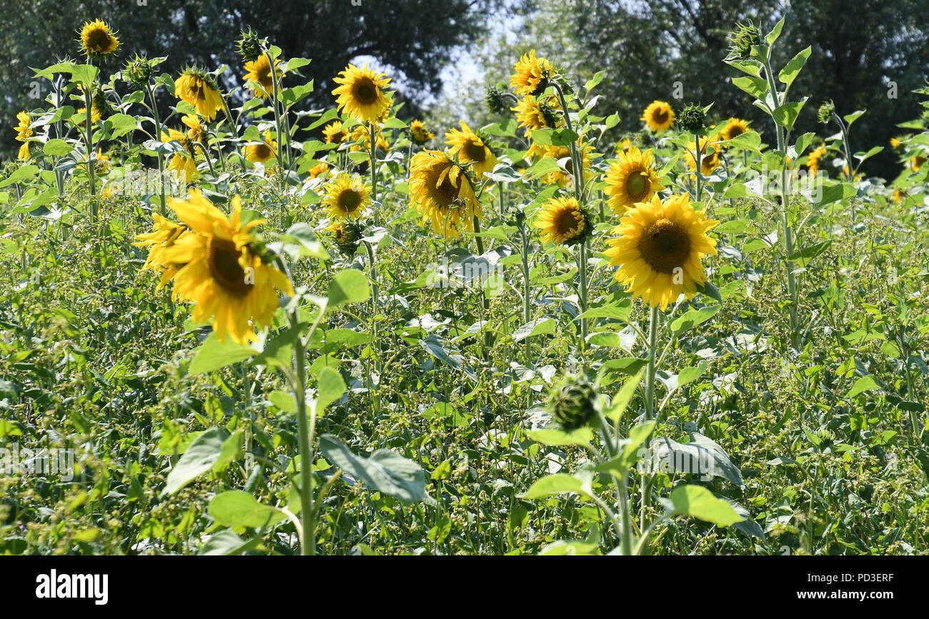 Sillens, Germany. 17th July, 2018. A sunflower blooms on a meadow. An organic farmer from Butjadingen has transformed 45 hectares of fallow land and marginal strips into bee-friendly flowering land. Credit: Carmen Jaspersen/dpa/Alamy Live News - Stock Image