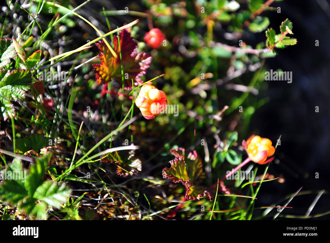 A couple of cloudberries in natural surroundings. Horizontal photo. - Stock Image