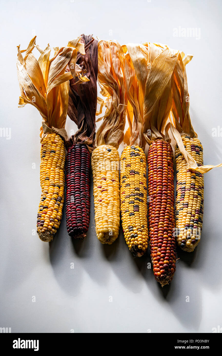 Different varieties of maize cobs - Stock Image