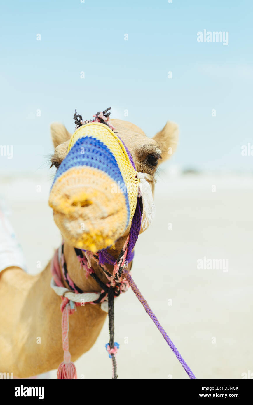 Camel, wearing knitted muzzle to prevent biting or chewing, waits on the Mesaieed desert, also known as Dukhan Heights, Al-Rayyan Municipality, Qatar Stock Photo