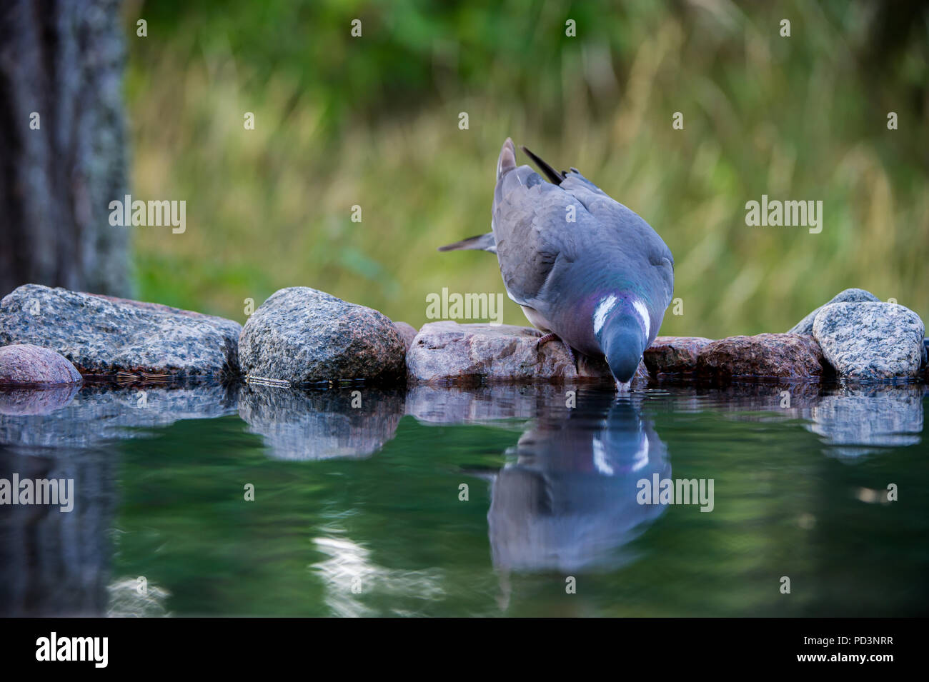 The Common Wood Pigeon (Columba palumbus) drinking, from the front, at the waterhole with a nice defocused background, august in Uppland, Sweden - Stock Image