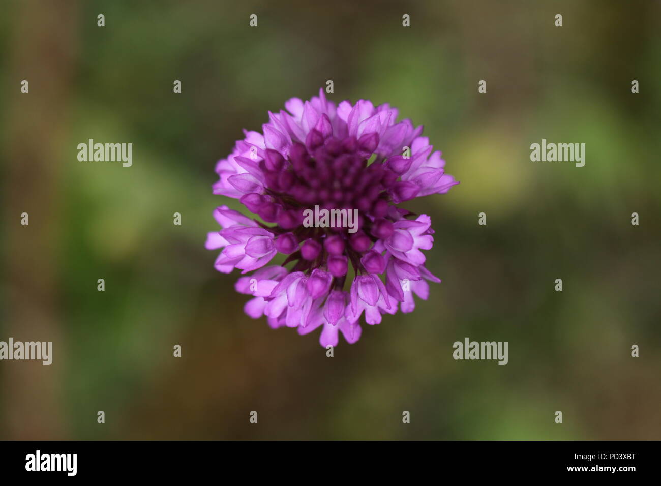 View of Pyramidal Orchid (Anacamptis pyramidalis) from above. Photograph taken in a Hampshire woodland clearing in 2011 Stock Photo