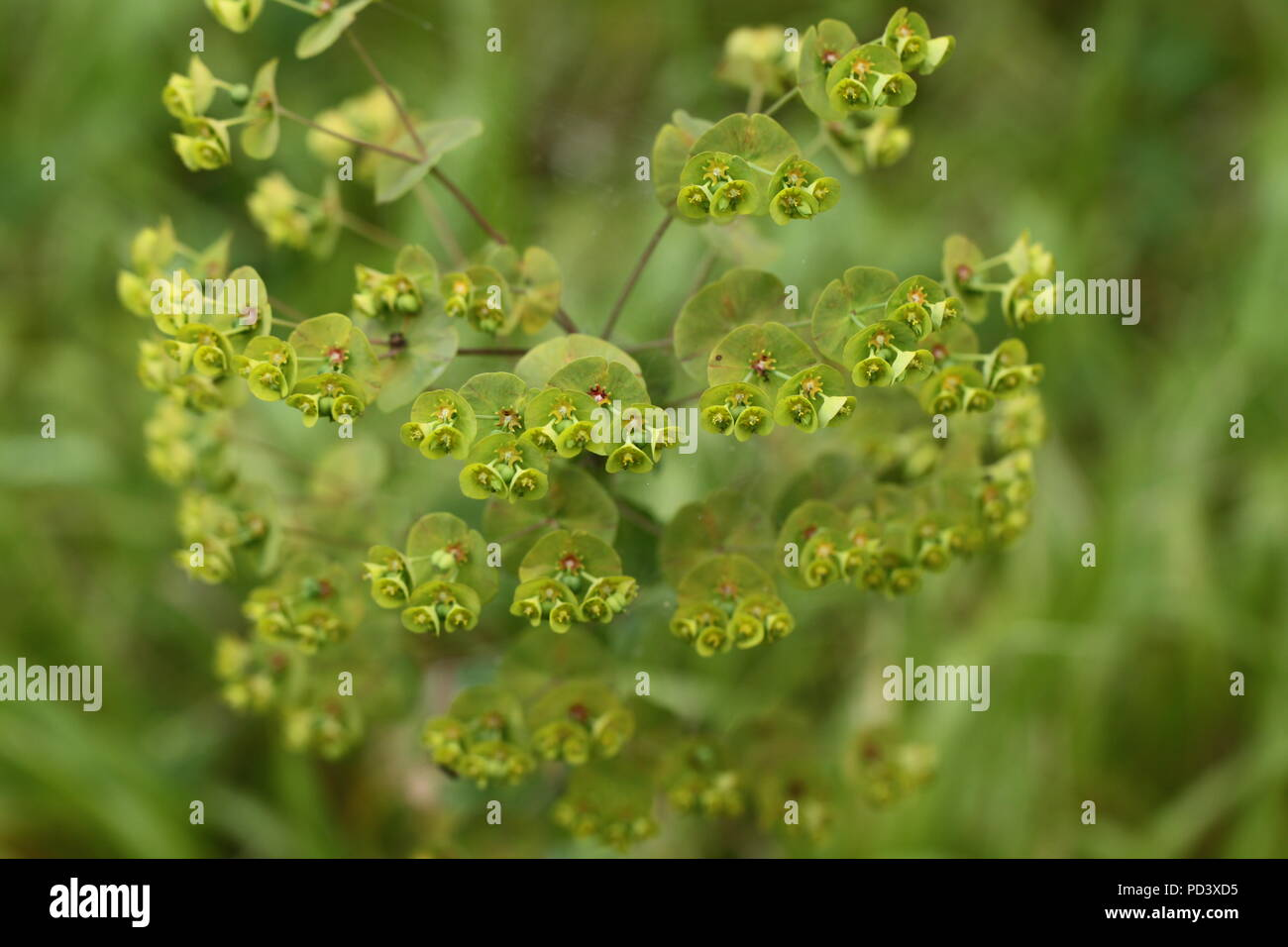 Wood Spurge (Euphorbia amygdaloides) in flower in an Ancient Woodland in Hampshire. Taken in 2011. - Stock Image