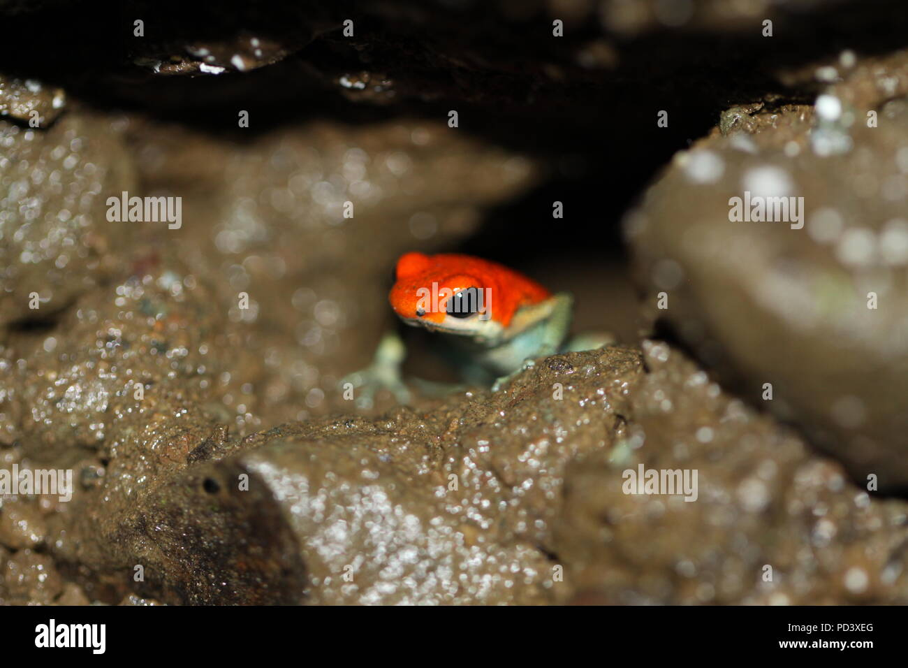 Strawberry Poison Dart Frog (Oophaga pumilio) in Corcovado National Park, Osa Peninsula, Costa Rica. Photo taken in 2016. - Stock Image