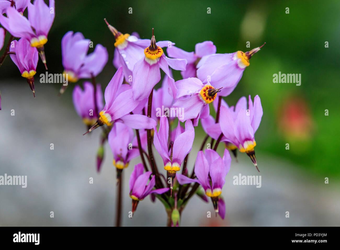 France, Hautes Alpes, Villar d'Arene, Alpine botanical garden of Lautaret,  shooting star (Dodecatheon meadia) - Stock Image