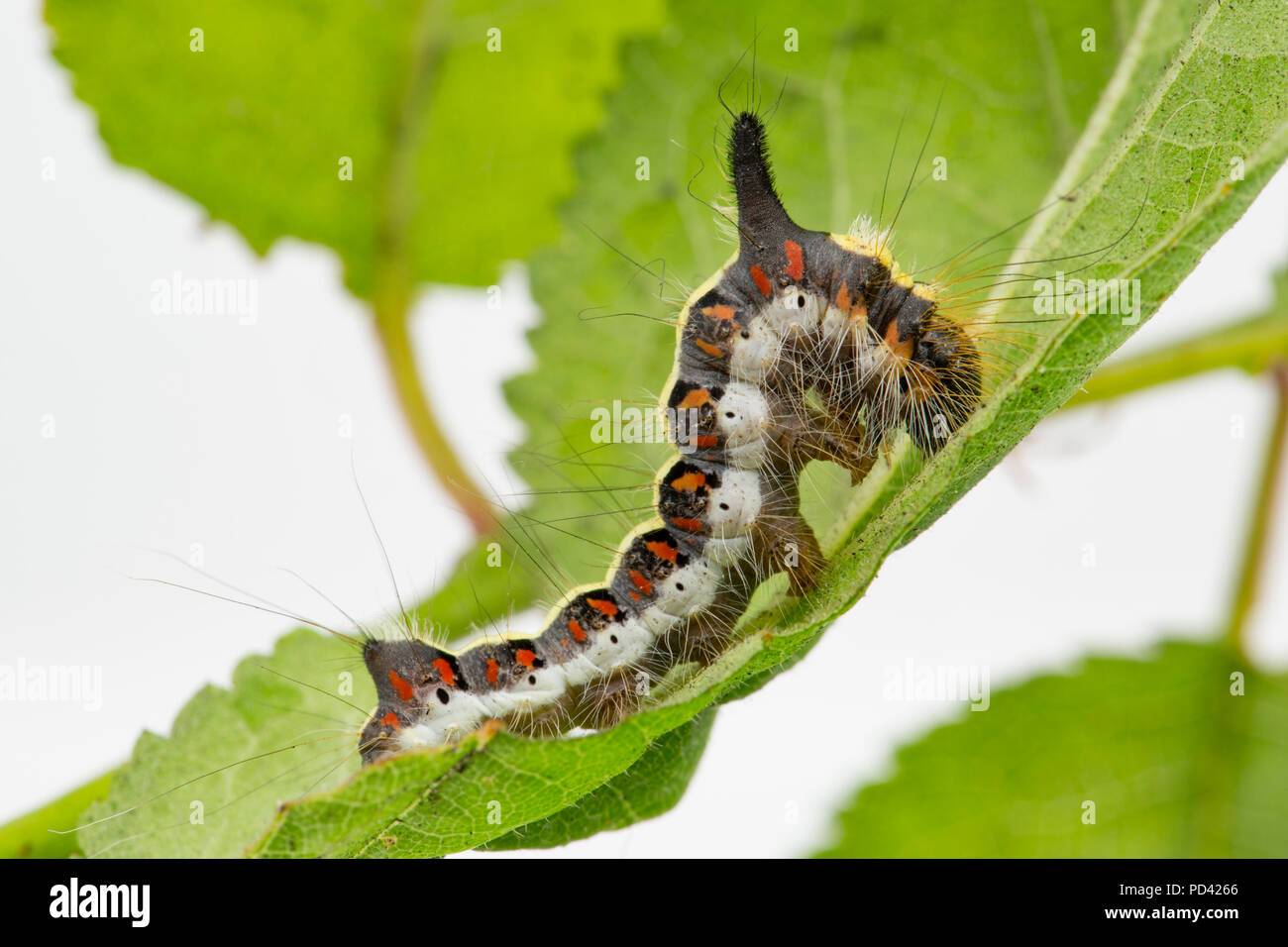 A Grey Dagger moth caterpillar, Acronicta psi, found feeding on bullace leaves photographed in a studio before release. North Dorset England UK GB - Stock Image